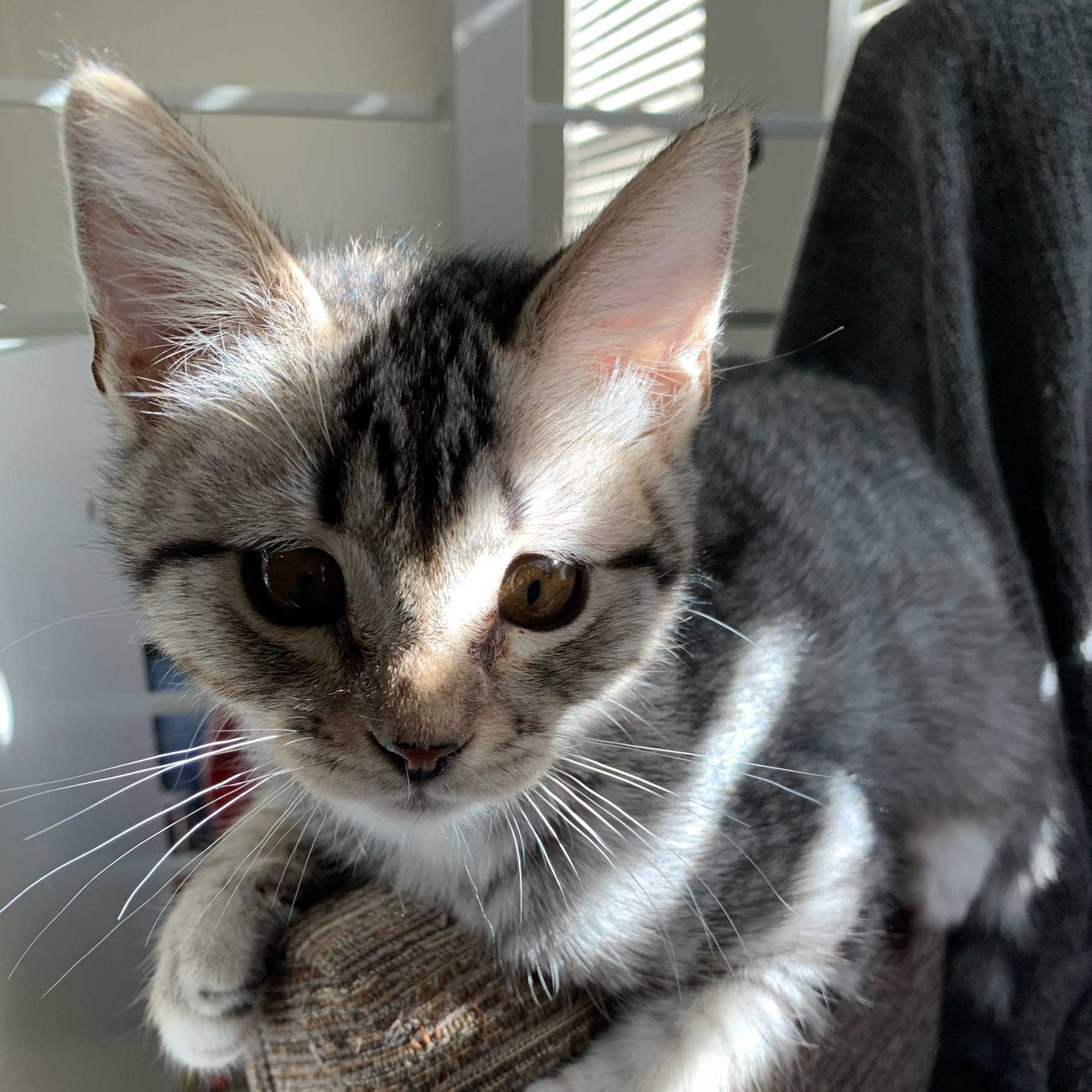 A grey, striped tabby kitten straddle the arm of an uphostered chair.