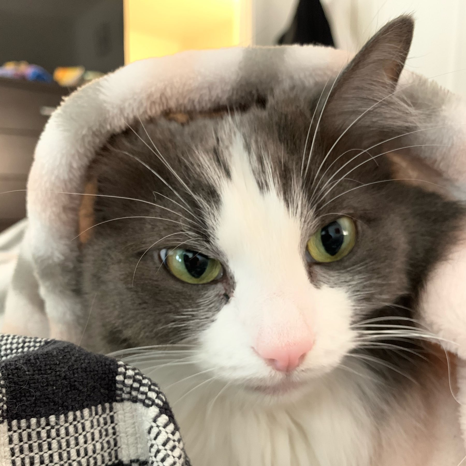 The head of a grey and white medium haired cat looks out from a nest of blankets