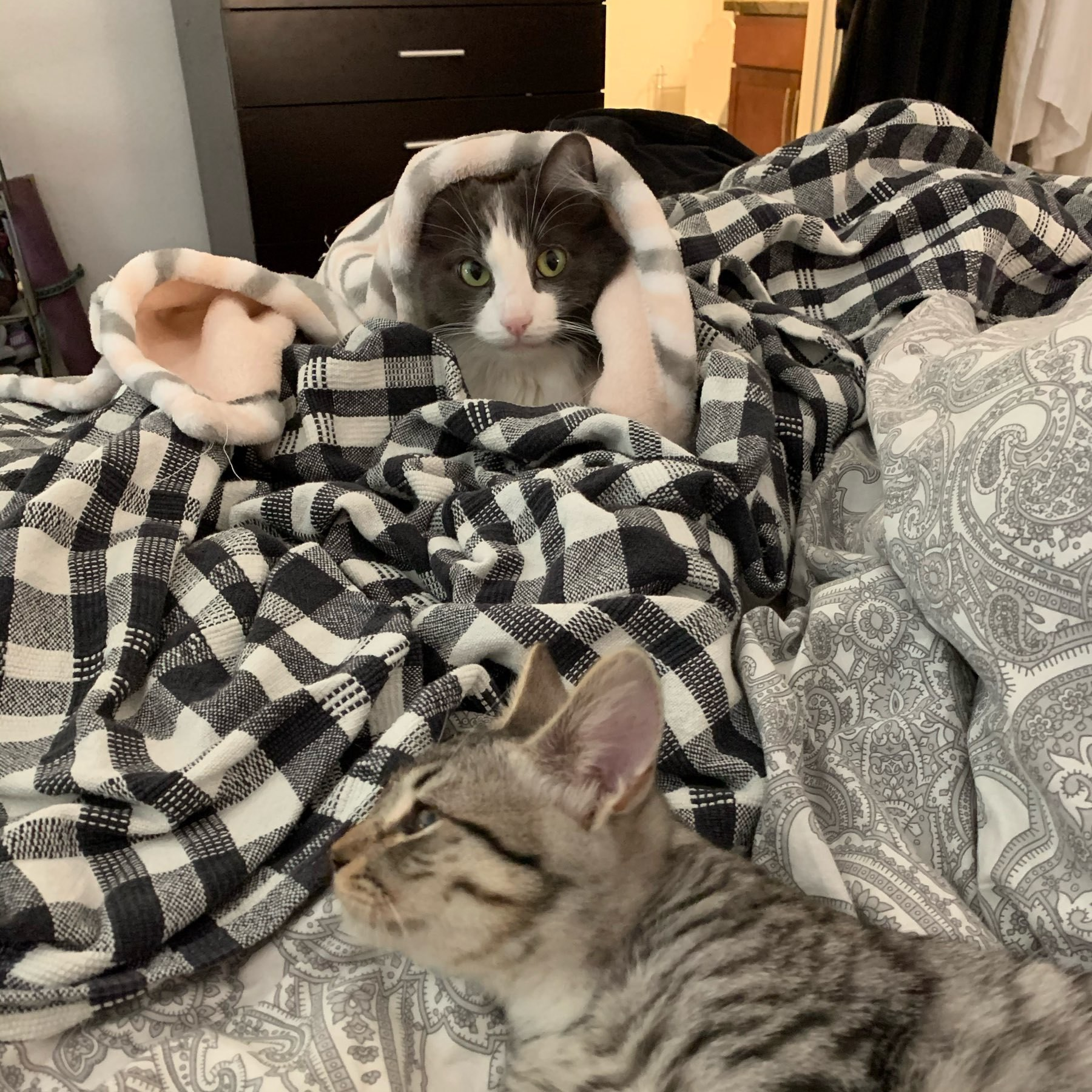 A grey and white cat under blankets in background glares at grey and black tabby grooming in foreground